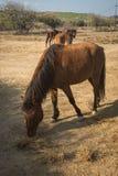Skirian horses, Skiros, northern Sporades, Greece. Image of skirian horses, Skiros, northern Sporades, Greece Royalty Free Stock Images