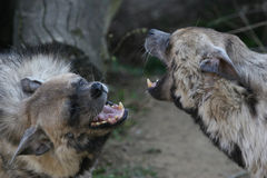 Skirmish. That photo was made in Africa, two striped hyena stock images