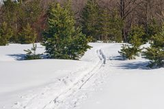 Skis trail of a winter pine forest. Skis trail of winter pine forest Royalty Free Stock Image