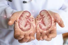 Skissa av den mänskliga njuren i händerna royaltyfri foto