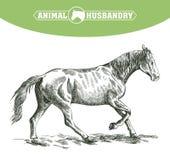 Skissa av den rinnande hästen som dras av handen boskap beta för djur Fotografering för Bildbyråer