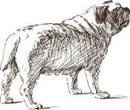 Skissa av en bulldogg Royaltyfri Foto