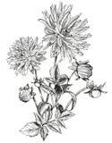 Skissa av härliga blommor av trädgårds- aster Royaltyfri Bild