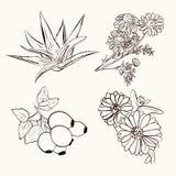 Skissa av medicinalväxter Stock Illustrationer