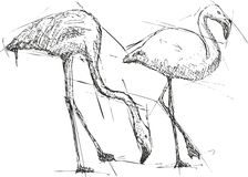 Skissa illustrationen av flamingo Arkivfoto
