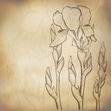 Skissa irisbakgrund Royaltyfria Bilder