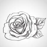 Skissa rosa royaltyfri illustrationer