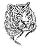 skissa tigern Arkivfoton