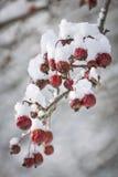 Skitäpplen på snöig filial Arkivbilder