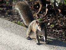 Skittish Squirrel Stock Photography