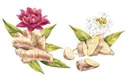 Skizze des Hand gezeichneten Ingwer- und Meerrettichaquarells Illustration für Lebensmitteldesign Stockfoto