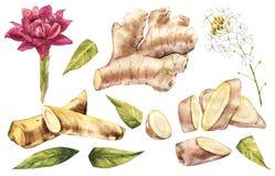 Skizze des Hand gezeichneten Ingwer- und Meerrettichaquarells Illustration für Lebensmitteldesign Stockbilder