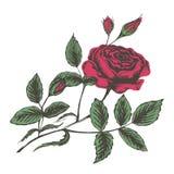 Skizzenvektorillustration von roten Rosen stock abbildung