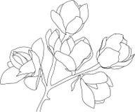 Skizzieren Sie die blühende Magnolie, schwarz auf weißem Hintergrund Stockbild