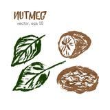 Skizzierte Illustration der Muskatnuss Stockbilder