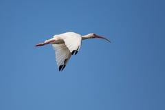 Skjuta i höjden den vita ibits Arkivfoto