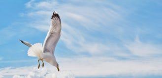Skjuta i höjden den vita seagullen, närbild i klar himmel på sommardag Seagullflyg arkivbilder