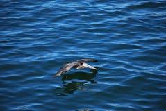 Skjuta i höjden för pelikan Royaltyfria Bilder