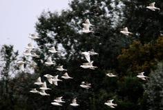 Skjuta i höjden flocken av vita duvor Arkivbild