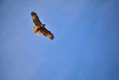 Skjuta i höjden höken mot en blå himmel Fotografering för Bildbyråer