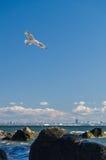 Skjuta i höjden seagullen över kust för baltiskt hav nära den Tallinn staden, Estland Royaltyfri Bild