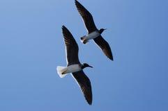 Skjuta i höjden seagulls Royaltyfri Foto