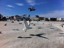 Skjuta i höjden seagulls på den nya Smyrna stranden Royaltyfria Foton