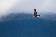 Skjuta i höjden skalliga Eagle nära Harrison British Columbia Arkivbilder