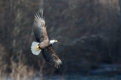 Skjuta i höjden skalliga Eagle nära Squamish British Columbia Royaltyfri Fotografi