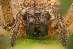 Skjuten främre sikt för spindel makro Royaltyfria Foton