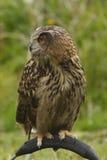 skjuten full owl för huvuddel Royaltyfria Bilder