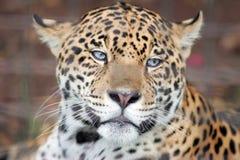 skjuten head jaguar Fotografering för Bildbyråer