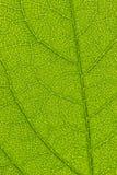 Skjuten Leafmakro arkivfoton