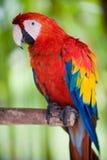skjuten macawmedelscharlakansrött Arkivfoto