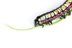 skjuten sida för caterpillar makro Arkivfoto