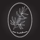 skjuten studio för bärbuckthorn hav Royaltyfri Illustrationer