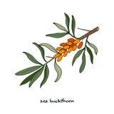 skjuten studio för bärbuckthorn hav Stock Illustrationer