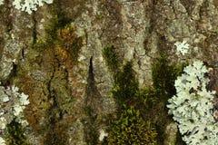 skjuten tree för skäll close upp Arkivbild
