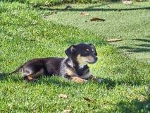 Skjutit av en gullig älsklings- hund arkivbild