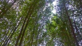 Skjutit av solljuset i morgonen som går till och med långa träd arkivfilmer