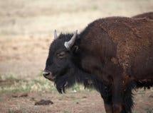 skjutit buffelhuvud Arkivfoton