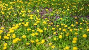Skjutit grunt djup av fältet - fjädra ängen med gul dandelio Royaltyfri Foto
