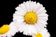 skjutit grunt för makro för blomma för chamomilecloseupdof Arkivbild