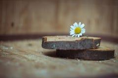 skjutit grunt för makro för blomma för chamomilecloseupdof Royaltyfria Foton