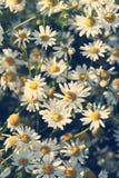 skjutit grunt för makro för blomma för chamomilecloseupdof Royaltyfri Foto