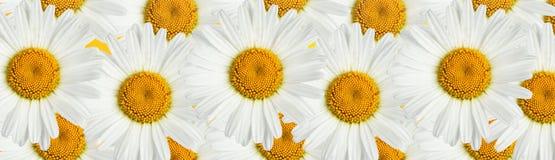 skjutit grunt för makro för blomma för chamomilecloseupdof Arkivbilder