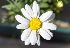 skjutit grunt för makro för blomma för chamomilecloseupdof arkivfoto