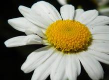 skjutit grunt f?r makro f?r blomma f?r chamomilecloseupdof fotografering för bildbyråer
