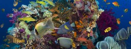 skjutit rött hav för korallfisk Arkivbilder