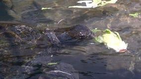 Sköldpadda för grönt hav i den undervattens- observatoriet Marine Park i Eilat, Israel lager videofilmer